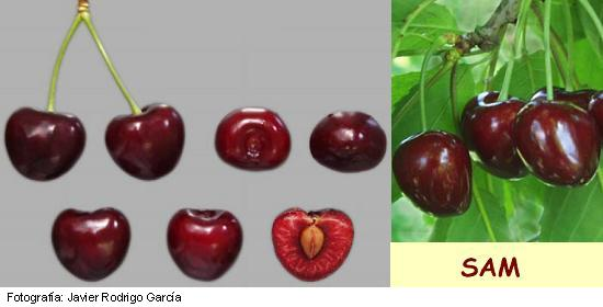 Image Sam Cherry, variety of cherry Sam cherry of medium maturation