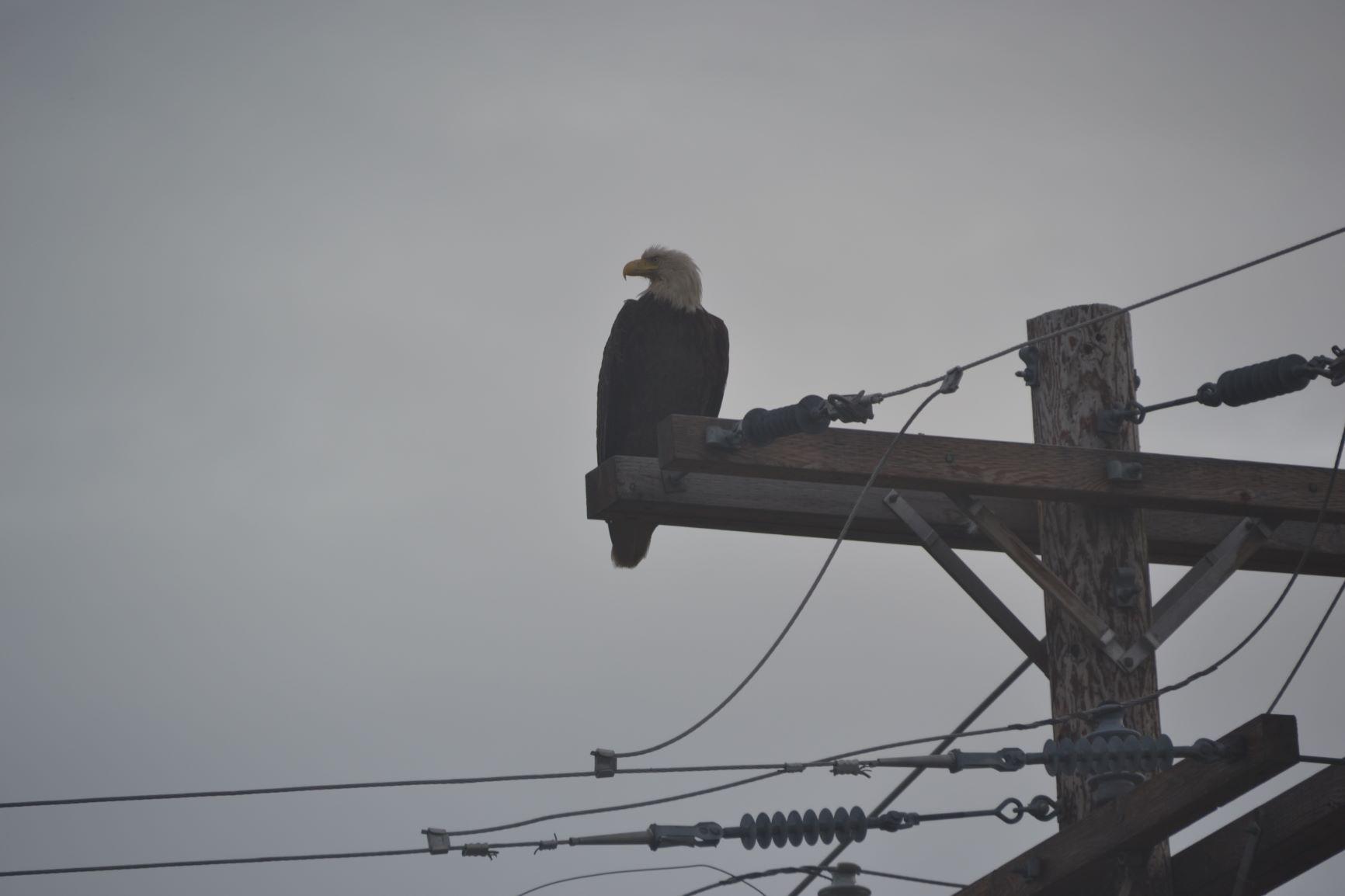 Eagle_on_telephone_pole.jpg