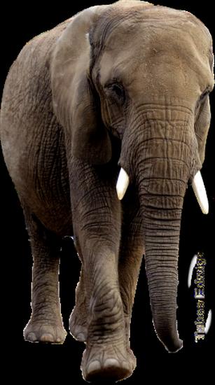 tubes_elephants_tiram_647