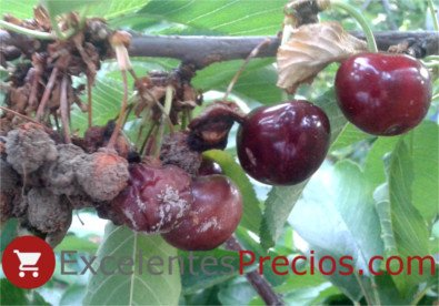 Cherry brown rot (Monilinia spp)