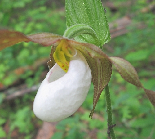 Cypripedium_montanum_CLS