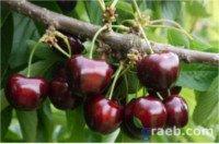 Tipos de cereza: Sylvia