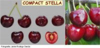 Types of cherry: Stella