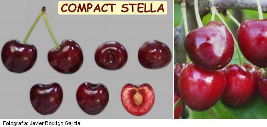 cerezo Stella, variedad de cereza Stella, cereza tardía