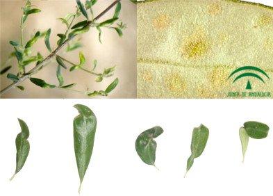 Eriófidos del olivo, hojas afectadas por erinosis o acariosis del olivo