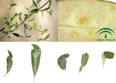 Olive tree eriophids, Olive bud mite, leaves affected by erinosis or acariosis of the olive tree