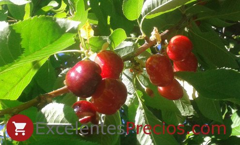 Cereza Sweet Early, variedad de cerezo Sweet Early, cereza de cosecha extra-temprana