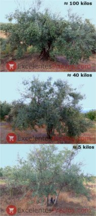 How many kilos of olives does an olive tree produce, 5, 40, 100 kilograms of olives