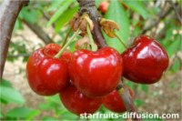 Types of cherry: Primulat
