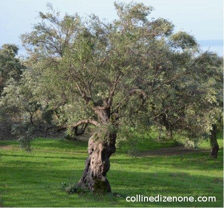 Pisciottana olive tree, pisciottana olives