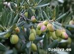 El olivo Picudo tiene aceitunas grandes que pueden usarse para mesa