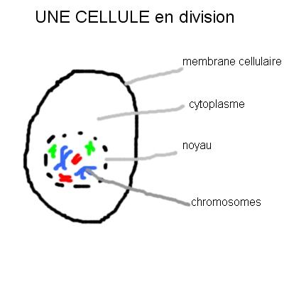 cellule germinale 2n