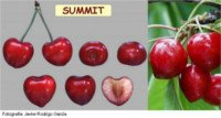 Tipos de cereza: Summit