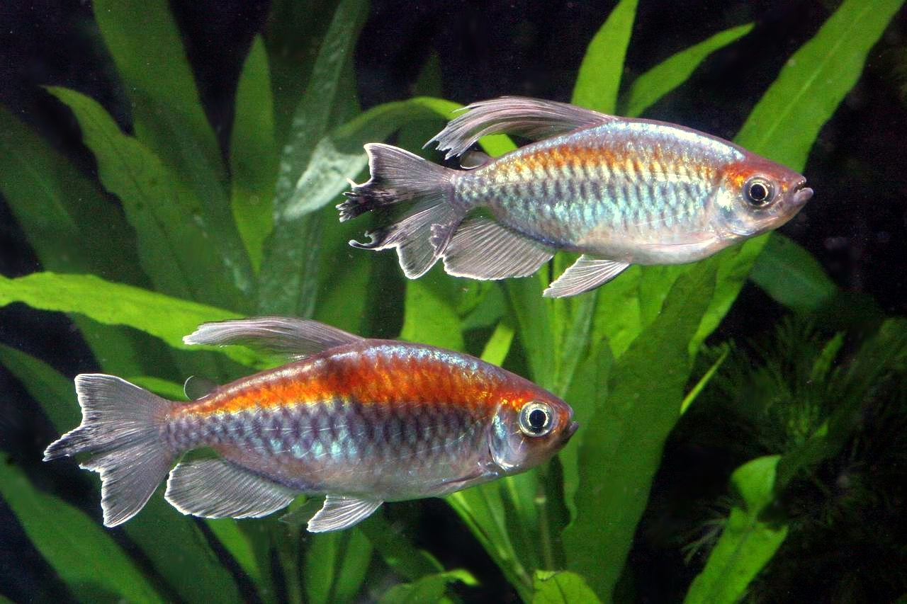 Congo tetra phenacogrammus interruptus live tropical fish for Live tropical fish