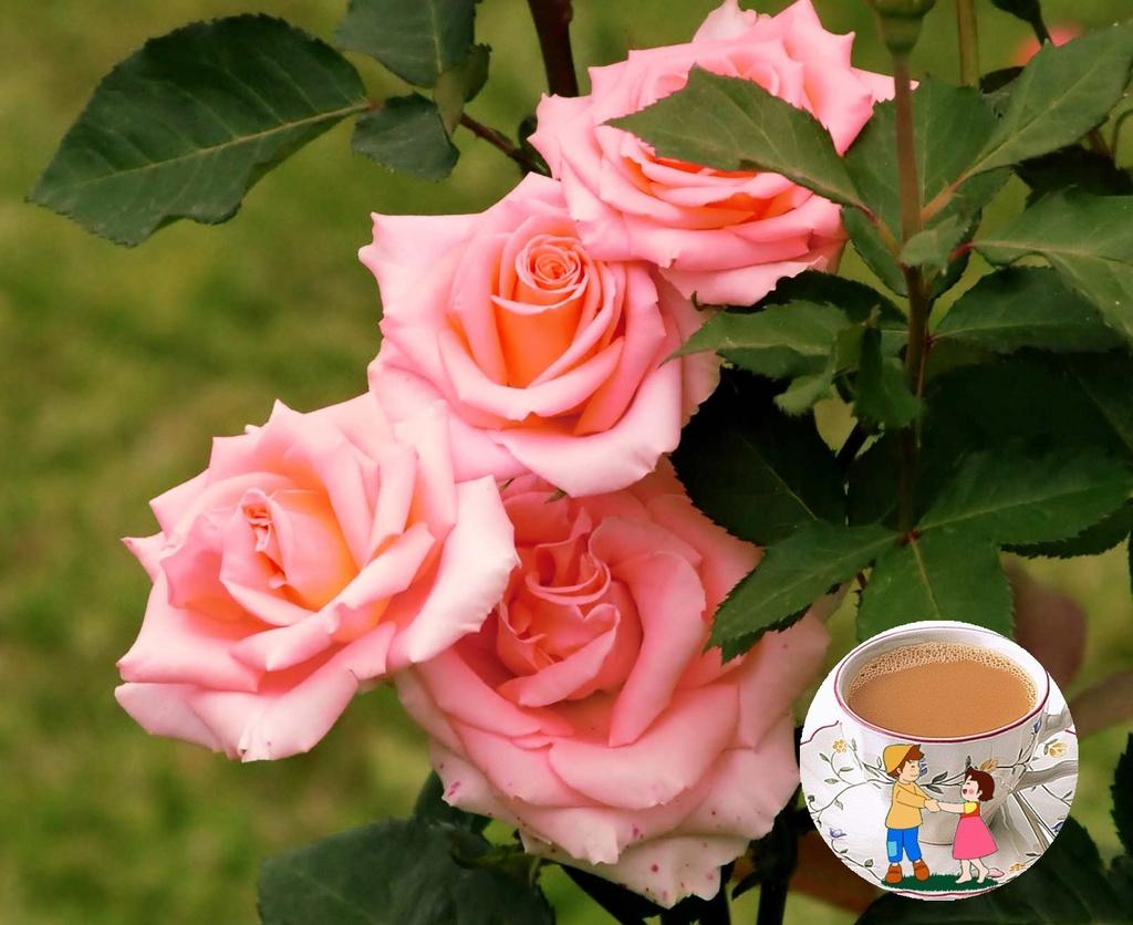 trandafir_gradina1111_sh_zpstvjaynqf