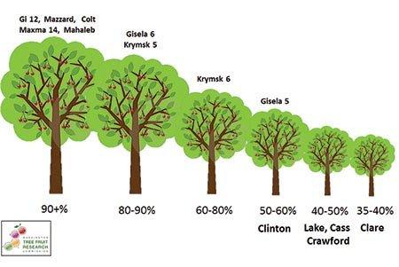 Gisela 6, Gisela 6 rootstock, pattern, cherry rootstock