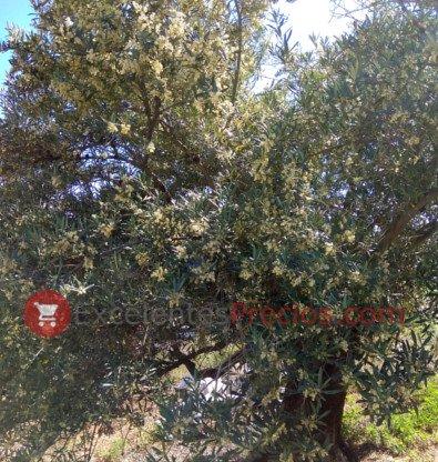 Olivo en flor, fecha de floración olivo, olivo en la época de floración