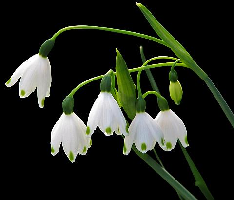 tubes_fleurs_tiram_663