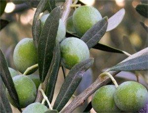 Pendolino olive variety, Pendolino olives
