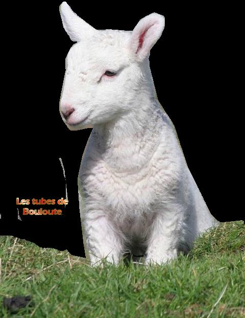mouton_tiram_29