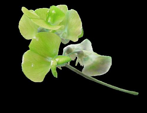 fleurs_paques_tiram_68