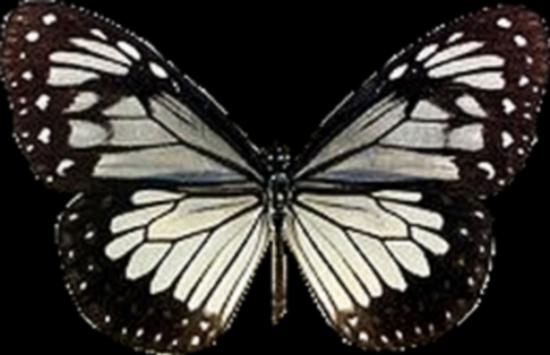 tubes_papillon_tiram_735