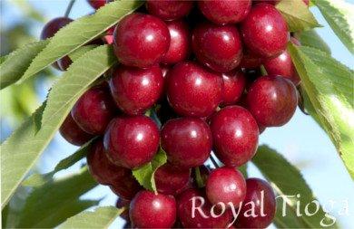 Cereza Royal Tioga, variedad de cerezo Royal Tioga, cereza temprana