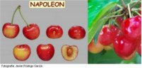 Tipos de cereza: Napoleon