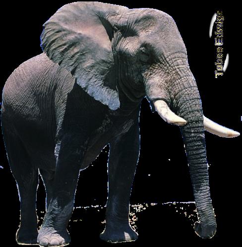tubes_elephants_tiram_644