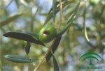 Escudete del olivo, Camarosporium dalmaticum