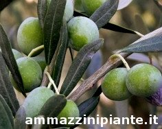 Piangente olive tree, Piangente olives