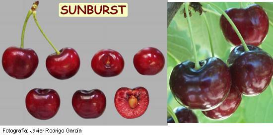 Variedad de cerezo Sunburst