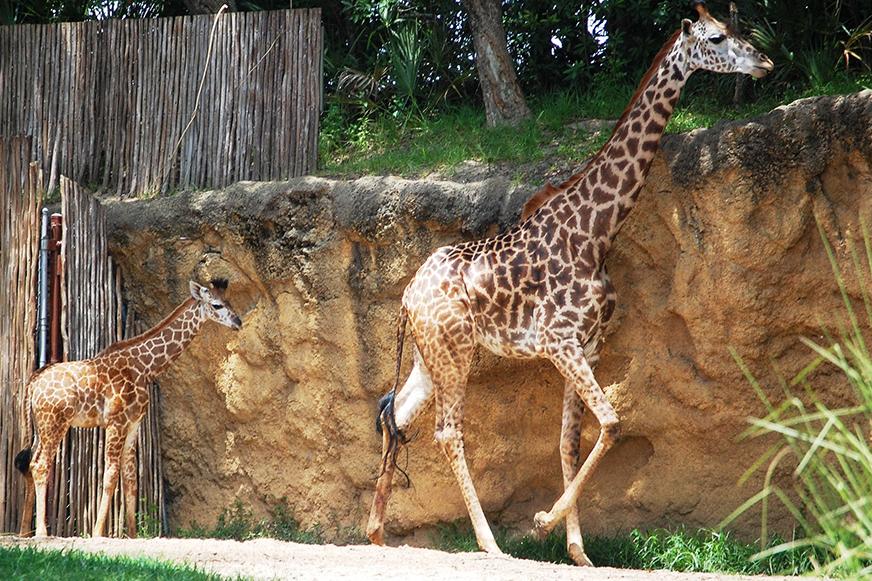 Animals at Disney's Animal Kingdom Park