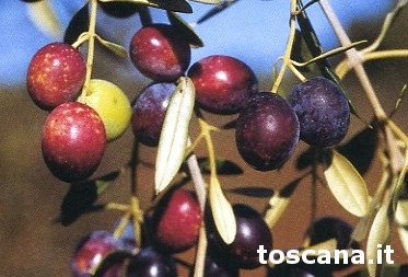 Variety of Morchiaio Olive,