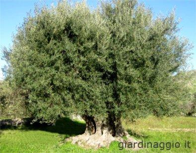 Maurino olive tree, centenary olive tree