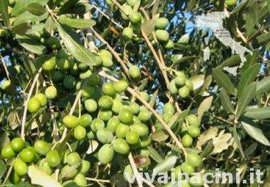 Variedad de olivo Leccio Del Corno