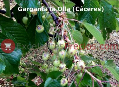 Cultivo del cerezo, daños por granizo, cerezas verdes, tratamiento de emergencia con Captan cicatrizante
