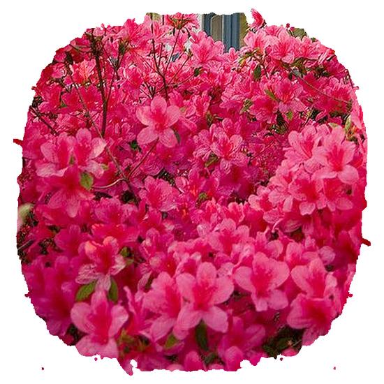 tubes_fleurs_tiram_533