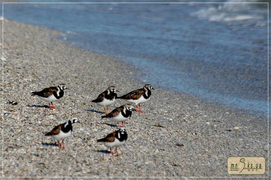 Крем'яшники (Arenaria interpres)
