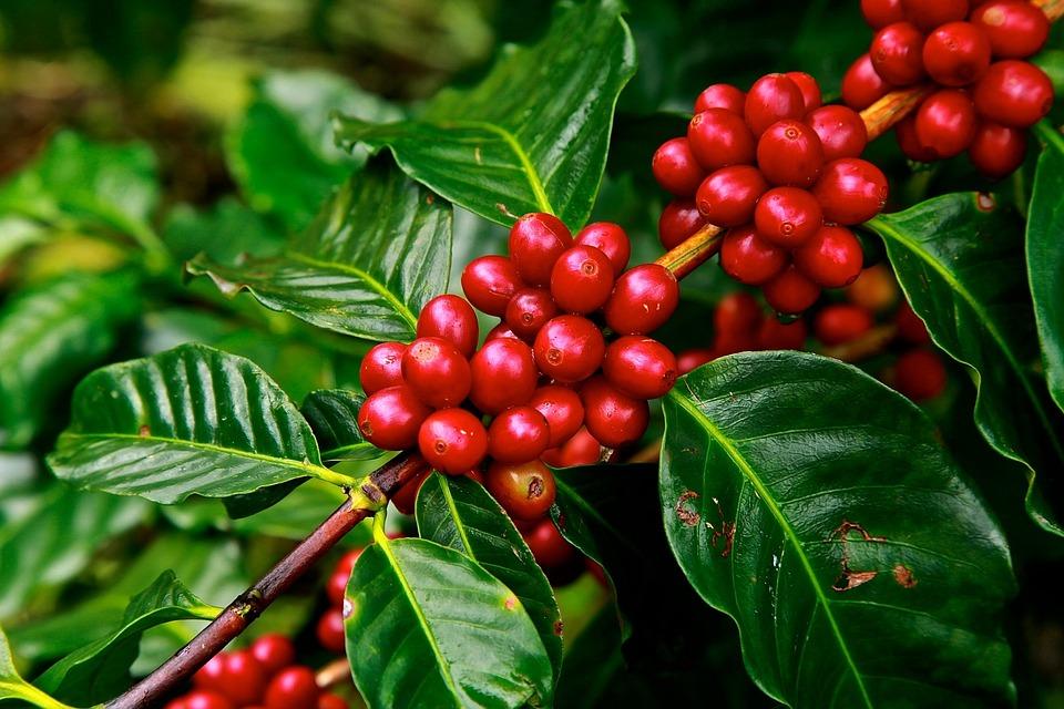 Owoce kawy, wisienki kawowe