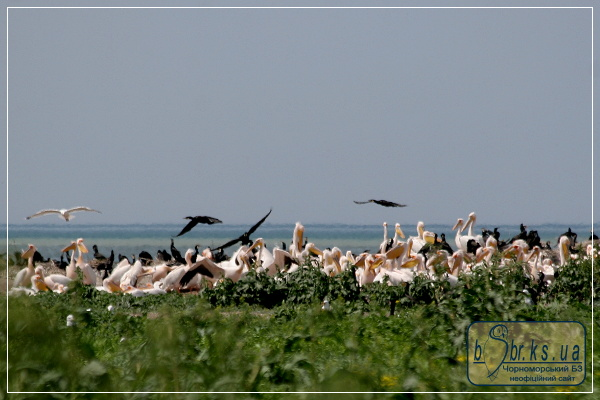 Колонія пелікана рожевого на острові Орлов
