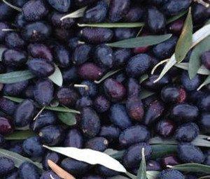 Recogida de aceituna, variedad de olivo Empeltre