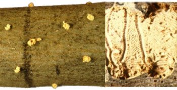 Barrenillo Phloeotribus, barrenillo del olivo, rama de olivo infectada de barrenillo