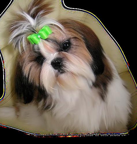 chien_tiram_359
