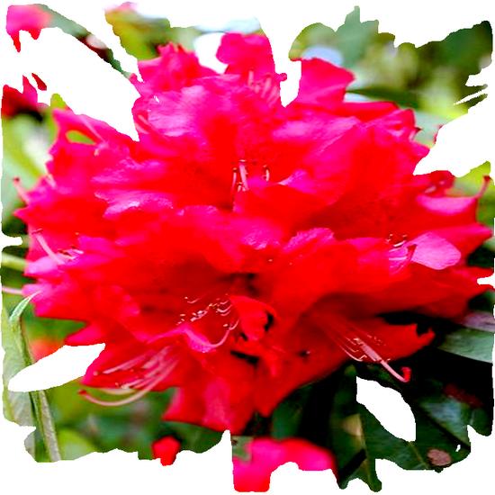 tubes_fleurs_tiram_530