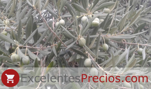 Olive variety Verdial de Badajoz, branch with olives