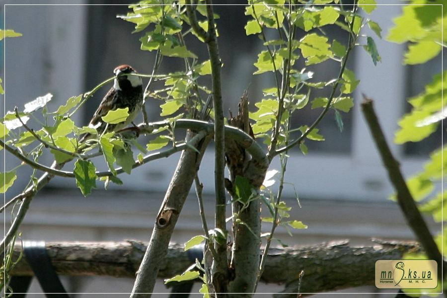 Горобець чорногрудий (Passer hispaniolensis)