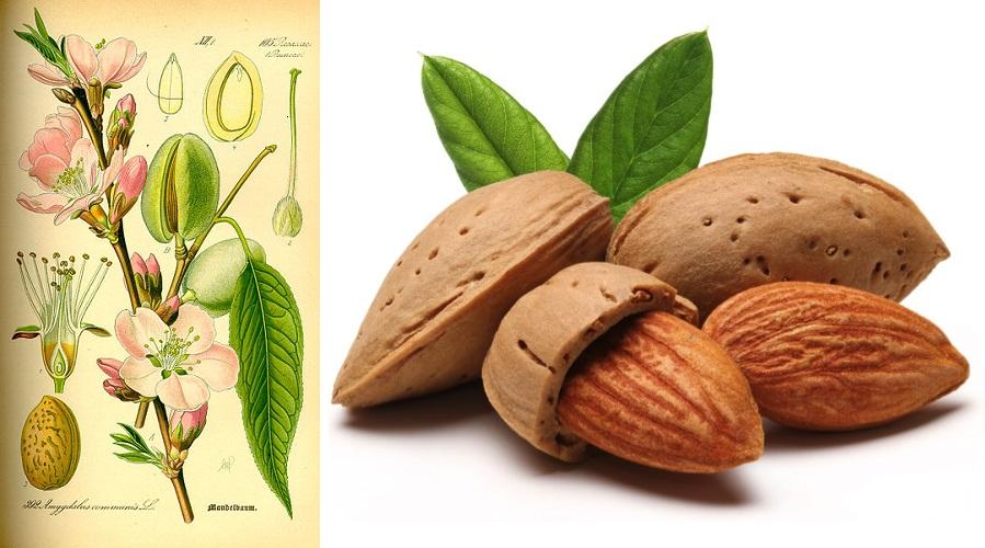 Bajame 351px_Illustration_Prunus_dulcis0