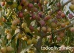 Olive variety for Arbosana super high density