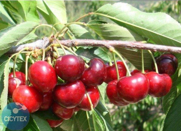 Cereza 3-13, variedad de cerezo 13S-3-13, cereza de maduración media
